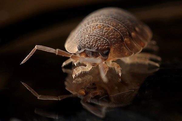 bed bug on mattress